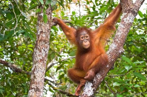 Orangutan-3.jpg